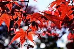 Листья красного цвета клена в осени Стоковые Изображения RF