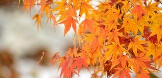 Листья красного цвета клена Стоковые Фото