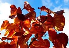 Листья красного цвета на предпосылке голубого неба стоковые фотографии rf