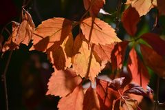 Листья красного цвета на темной предпосылке Осень Стоковые Изображения RF
