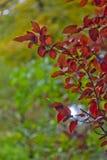 Листья красного цвета осени на зеленой предпосылке Стоковое Изображение