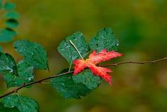 Листья красного цвета осени на зеленой предпосылке Стоковые Изображения RF