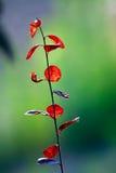 Листья красного цвета Стоковые Фотографии RF