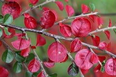 Листья красного цвета Стоковая Фотография RF