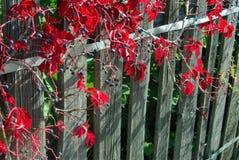 Листья красной виноградины стоковые изображения rf