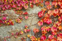 Листья красной виноградины creeper Вирджинии стоковая фотография