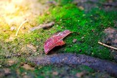 Листья красные и зеленая предпосылка мха, дерево с зеленым мхом вебсайт обоев пользы tan 2 теней представления приглашения иллюст Стоковые Фотографии RF