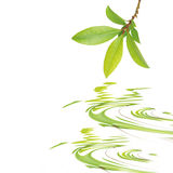 листья красотки залива Стоковые Изображения RF