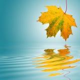 листья красотки золотистые Стоковое Изображение RF