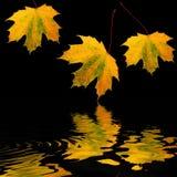 листья красотки золотистые Стоковые Фотографии RF