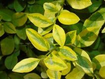 Листья красоты желтые и зеленые Стоковые Фото