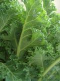 листья курчавого kale Стоковое Изображение RF