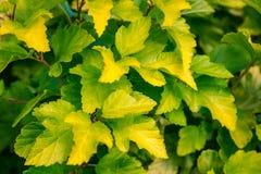 Листья куста желтоватого зеленого цвета Стоковые Изображения RF