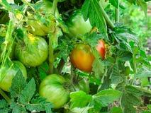 Листья куста томата начинают поворачивать коричневый цвет стоковая фотография