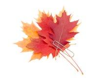 Листья клена и дуба, прикрепленные бумажным зажимом Стоковые Фотографии RF