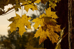 Листья клена осени на светах солнца Стоковая Фотография RF