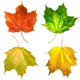 Листья клена Стоковая Фотография RF