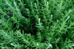 Листья лаванды стоковое фото rf