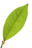 листья лавра стоковая фотография rf