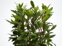 листья лавра Стоковые Фотографии RF