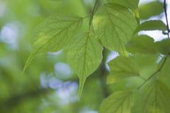 Листья листьев завода, красочных и красных, sord как, голубая предпосылка стоковые фотографии rf