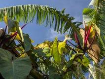 Листья лист и филодендрона банана перед голубым небом стоковые фото