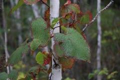 Листья лозы на березе стоковая фотография rf