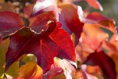 Листья лозы осени подсвеченные красные стоковые изображения