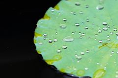 Листья лотоса в пруде стоковая фотография rf