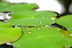 Листья лотоса Стоковые Изображения RF