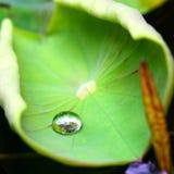 Листья лотоса Стоковые Изображения