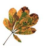 листья лошади каштана осени Стоковые Фотографии RF