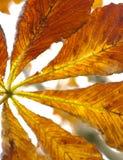 листья лошади каштана Стоковые Фотографии RF