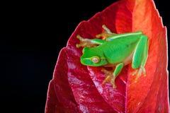 листья лягушки зеленые меньший красный сидя вал стоковое фото rf