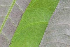 Листья макроса для свежих и разваленных лист Стоковые Фотографии RF