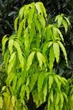 Листья манго Стоковое Изображение