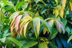 Листья манго Стоковая Фотография RF