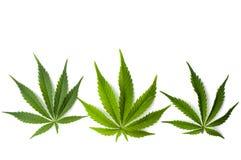 Листья марихуаны изолированные на белой предпосылке Стоковое Фото