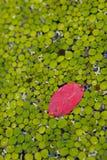 листья миллион один красный цвет Стоковое Изображение RF