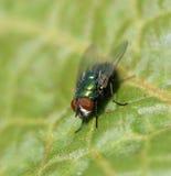 листья мухы Стоковые Фотографии RF