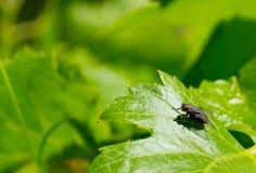 листья мухы Стоковое Изображение RF