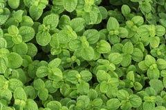 Листья мяты на зеленой предпосылке Стоковые Изображения RF