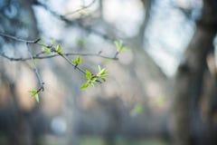 Листья на ветви на заходе солнца весной паркуют Стоковое Фото