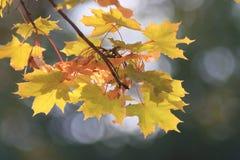 Листья на ветви осени Стоковое Изображение RF