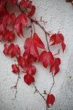 Листья на стене Стоковое Фото