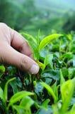 листья общипывая чай Стоковое Изображение RF