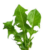 Листья одуванчика Стоковое фото RF