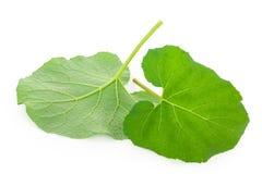 Листья лопуха стоковое фото rf
