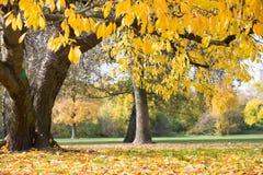 Листья осени вися на ветви дерева в парке Стоковые Изображения RF