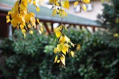 Листья осени вися от дерева березы Стоковые Изображения